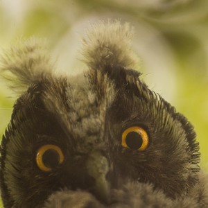 animals-birds-owl-fauna-large