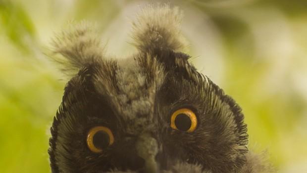 animals-birds-owl-fauna-large